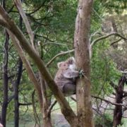 Koala, Tower Hill State Game Reserve